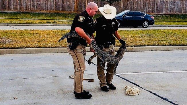 Sheriff's Deputies Wrangle Alligator Southwest of Houston
