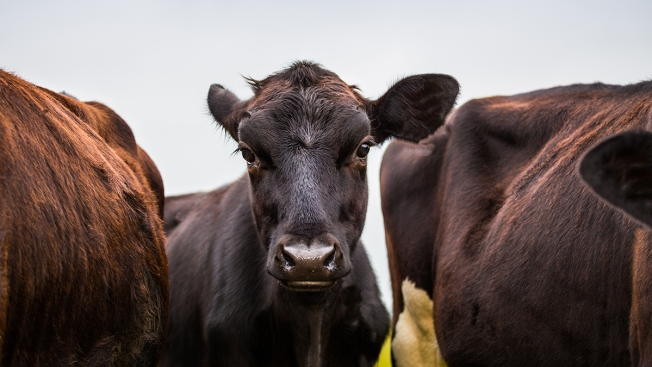 FDA Approves Drug to Make Cow Manure Less Stinky