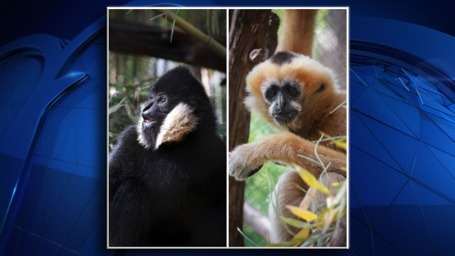 Dallas Zoo Welcomes Two White-Cheeked Gibbons