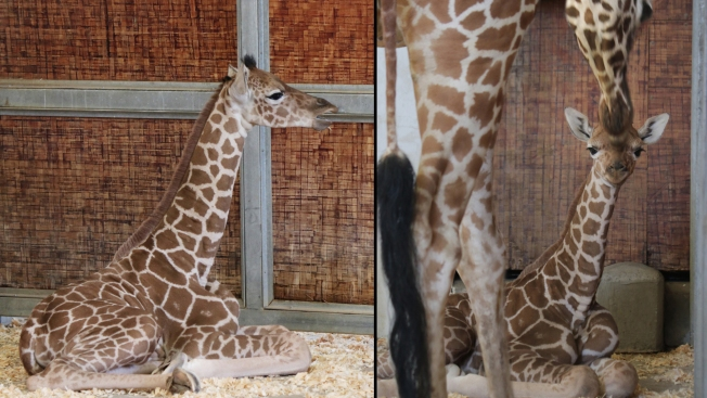 Baby Giraffe Born at Dallas Zoo