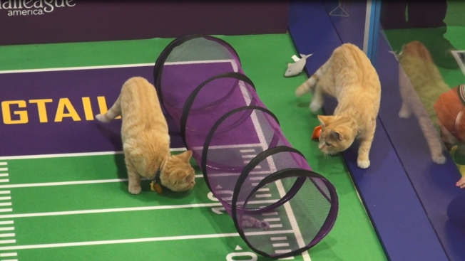 Cats from LI Will Be Pouncing for Victory in the Kitten Bowl