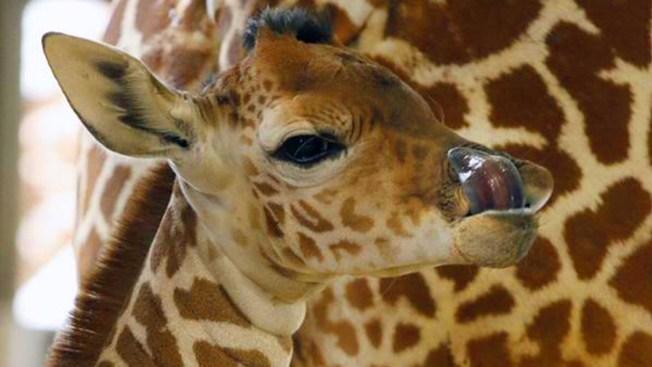 "Dallas Zoo Baby Giraffe Named ""Kipenzi"""