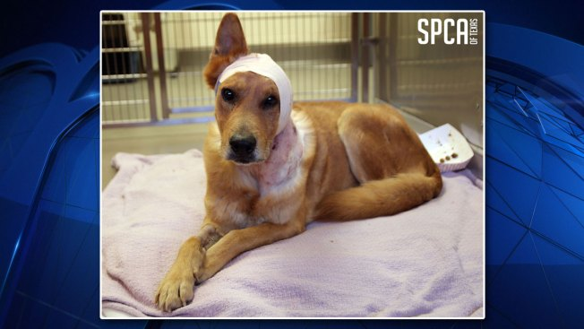 'Lucky' Dog Treated for Wounds, Police Investigate Animal Cruelty