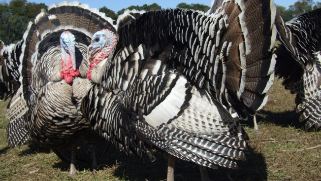The Heritage Turkey Is Making a Comeback