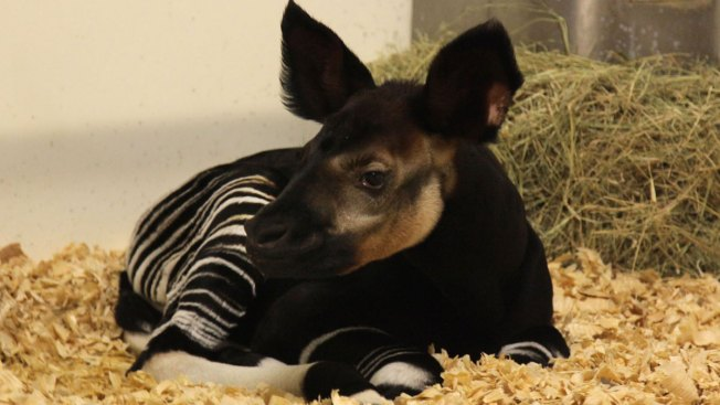 Rare Baby Okapi Born at Dallas Zoo