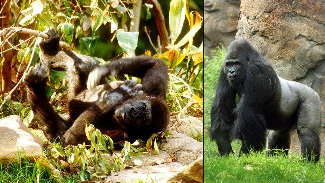Anti-Social Gorilla Patrick to Leave Dallas Zoo
