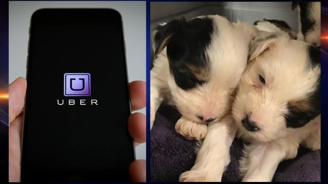 Uber To Deliver Puppies To Play With On Valentines Day Nbc 5