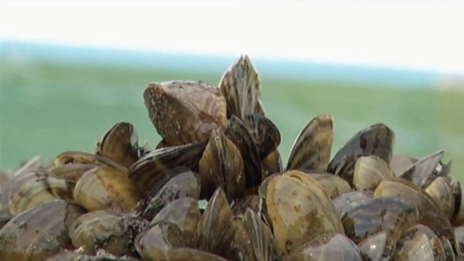 Zebra Mussels Found in Lake Lavon