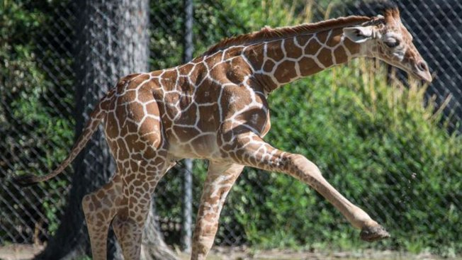 Fort Worth Zoo Names Baby Giraffe 'Beltre' for Rangers Slugger