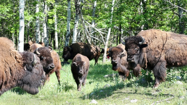 Herd of 75 Bison Escapes, Roams Rural Upstate New York