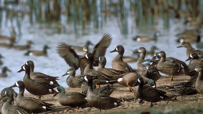 Texas Parks: 2018 Teal Hunting Forecast