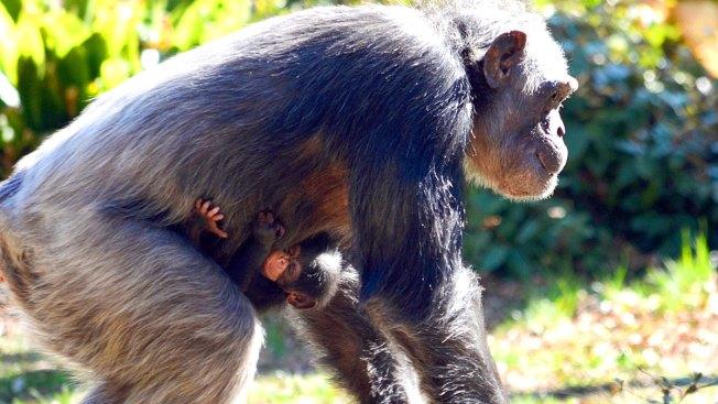 Baby Chimpanzee Born at the Dallas Zoo