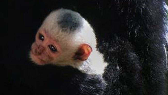 Another Baby Colobus Monkey Born at the Dallas Zoo