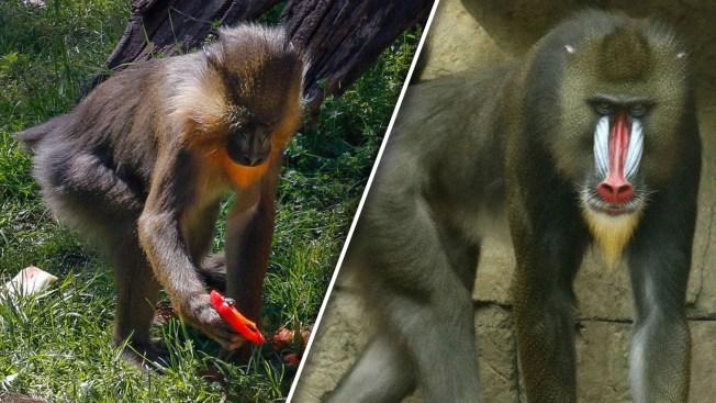 Dallas Zoo Says Goodbye to Two Mandrills