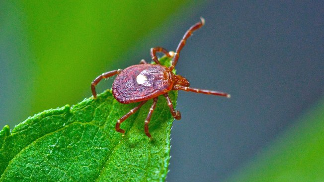 Bad Bite: Ticks Can Make You Allergic to Red Meat