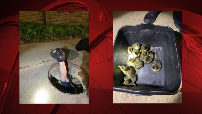FW Police Saved 13 Ducklings, 1 in Sewer Drain