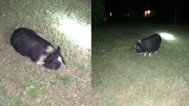 Owners of Found Pig Give Up Custody: Hurst Police