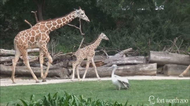 Fort Worth Zoo Opens New $100 Million African Savanna Exhibit