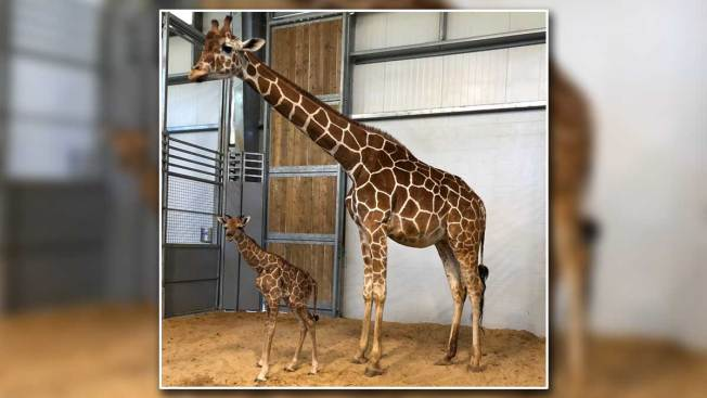 Fort Worth Zoo Has a New Baby Giraffe