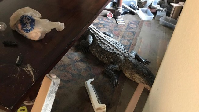 Massive Gator Found Inside Flooded Houston Home