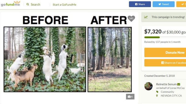 Nevada City Launches 'Goat Fund Me' to Prevent Wildfires