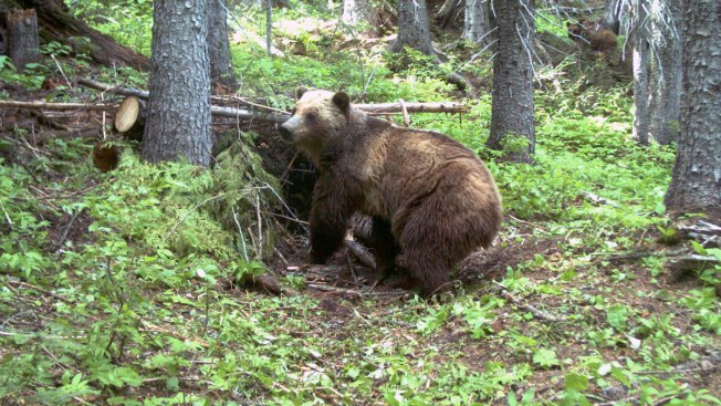 US Won't Restore Yellowstone Grizzly Bear Protections