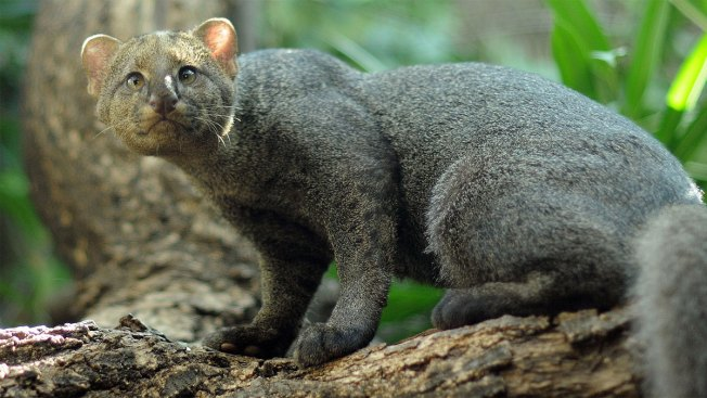 Plan Developed for Endangered Texas Jaguarundi