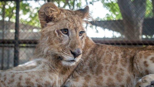 Wylie Wildlife Sanctuary Getting New Lions