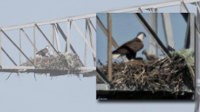 Eaglet Spotted in Bald Eagle's Nest Moved Away From Electric Lines