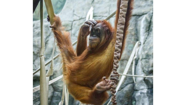 Rock-Loving Orangutan Causes $220K Damage at St. Louis Zoo
