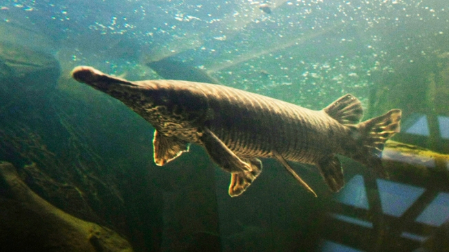 Texas Lake Welcomes Back Paddlefish Gone for Years