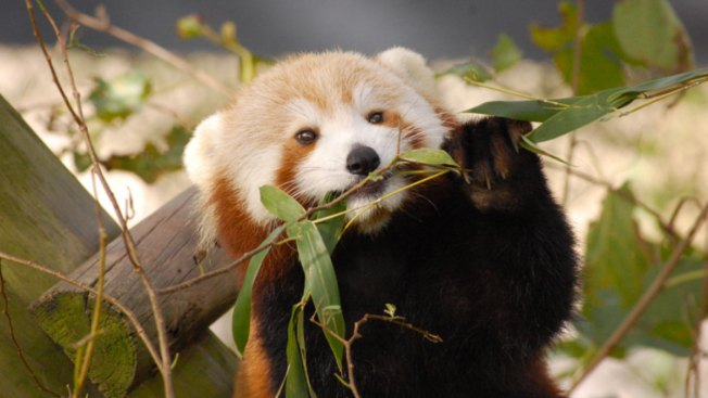 Red Panda Goes Missing From Virginia Zoo