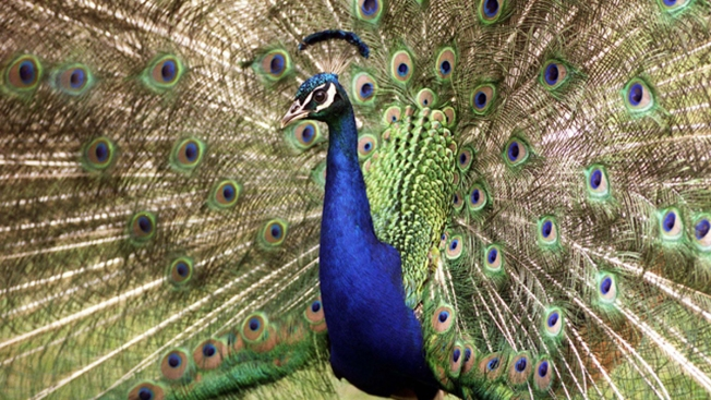 Pet Peacock Killed After Attacking Texas Women