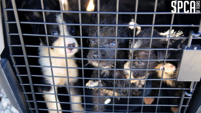 110 Abused Animals Seized from Texas Property, Owners Arrested: SPCA