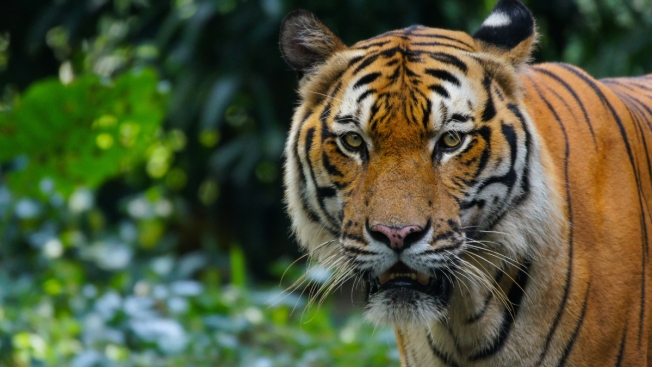 Caged Tiger at Miami Jungle-Themed Prom Sparks Outrage