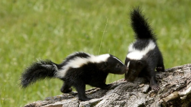 Skunks Now Target of Texas' Rabies Vaccine Air Drops