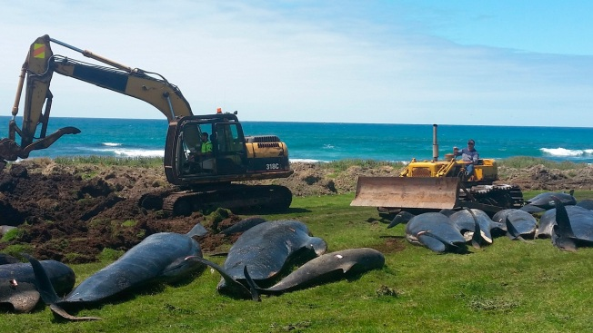 51 Pilot Whales Die in Another Mass Stranding in New Zealand