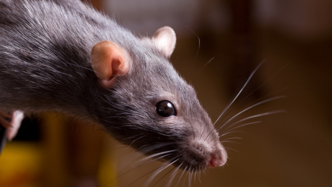 """Super Rats"" Rampage Across Britain"