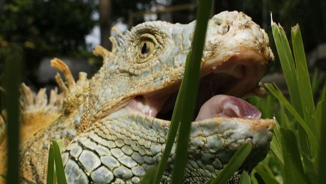 Fla. Cold Snap Causes Iguanas to Fall From Trees