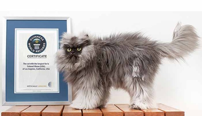 Internet Cat Star Colonel Meow Is Now Guinness World Record Holder