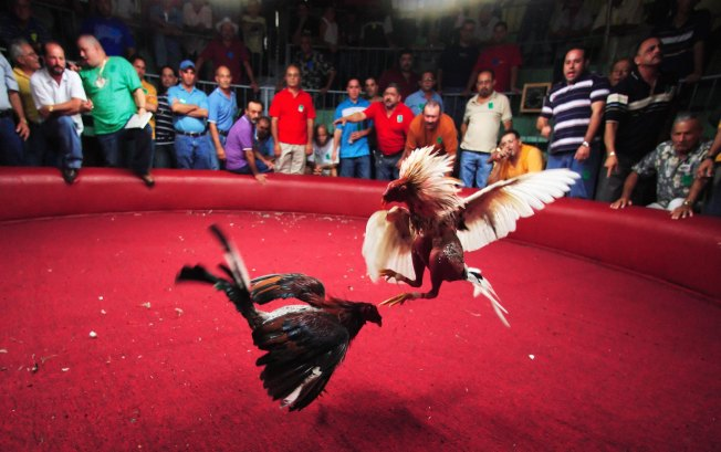 Over 100 Arrested in Cockfighting Bust
