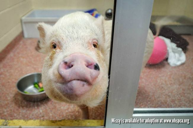 Pig That Survived Butcher, 2-State Escape From Home Finds New Family