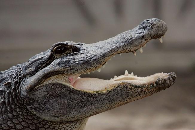 Florida Mom, 2 Kids Die After Car Hits Alligator in South Carolina