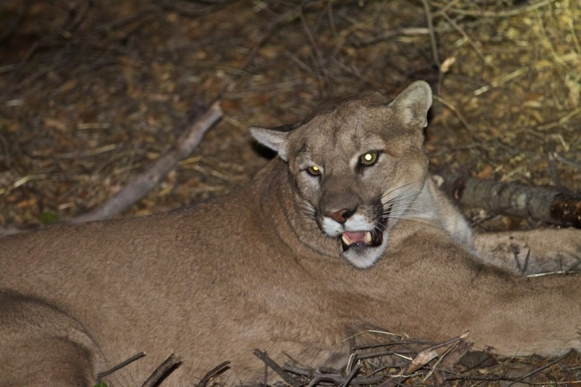 LA-Area Mountain Lion Gets Reprieve After Alpacas Killed