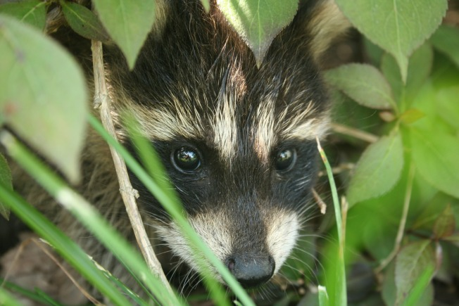 Raccoon Trapper Pleads No Contest