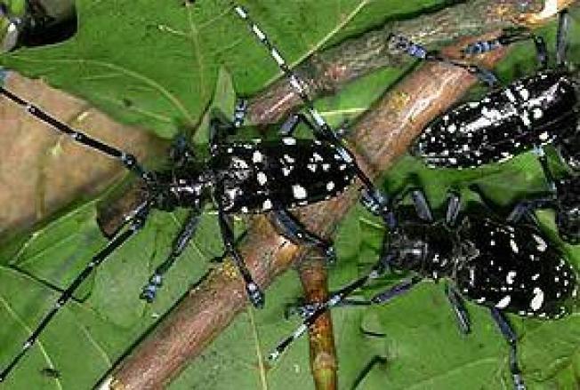 Asian Longhorned Beetles Invade Massachusetts