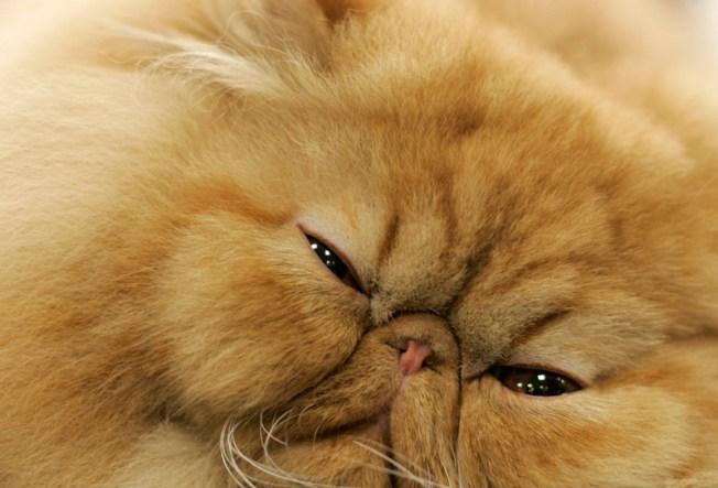 Oral Cat-raceptive