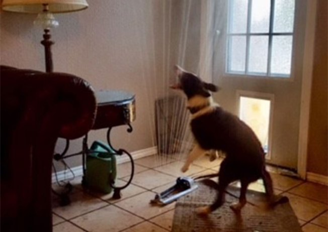Water-Loving Lake Dallas Dog Drags Sprinkler Inside to Beat the Heat