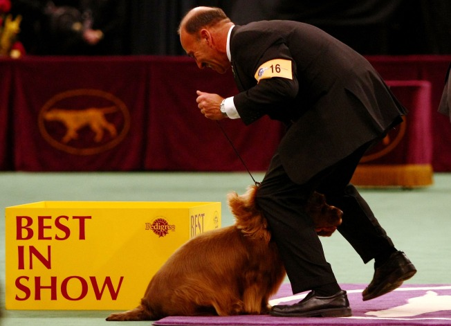 Scottish Terrier Favored to Win Westminster