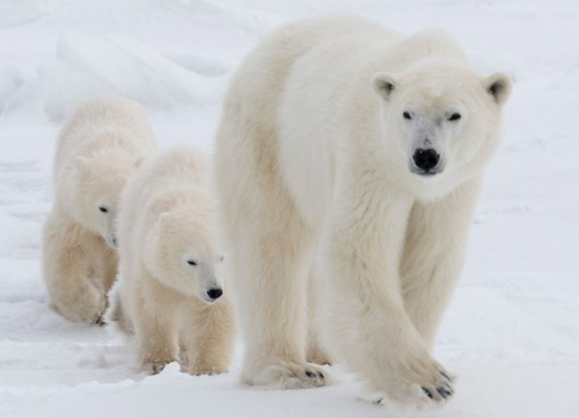 Man's Condition Improves After Canadian Polar Bear Attack